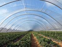 Keunggulan Greenhouse Dengan Plastik UV Selain Untuk Tempat Budidaya Namun Bisa Untuk Sarana Agrowisata Juga