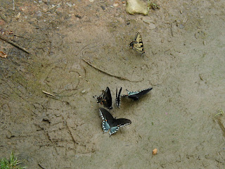 These butterflies were behind the cabin.