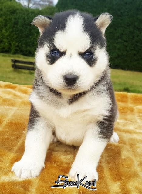 cachorro husky con ojos azules
