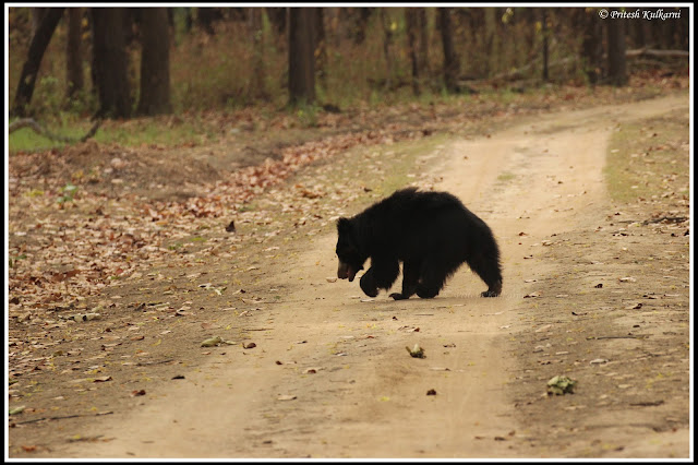 Claim walk of Indian Sloth bear, Kanha National Park