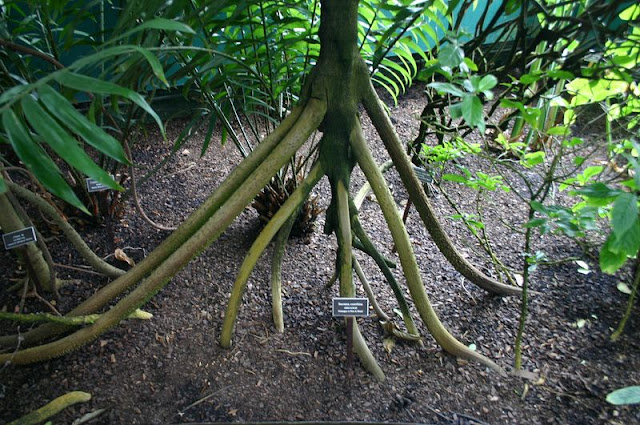 الأشجار التي تمشي ! Socratea-exorrhiza-walking-palms-3