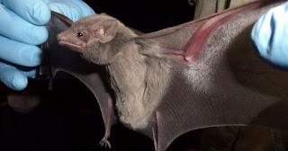 Os morcegos são animais considerados úteis ao homem e à natureza, devendo ser preservados. Em ecossistemas naturais, eles promovem a polinização das plantas e a dispersão das sementes de diversas plantas, podendo, inclusive, recuperar áreas desmatadas. Os morcegos insetívoros são considerados de grande importância ecológica, uma vez que auxiliam no controle de insetos noturnos, tanto em áreas rurais quanto urbanas.