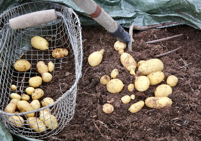 Kartoffelernte 2018