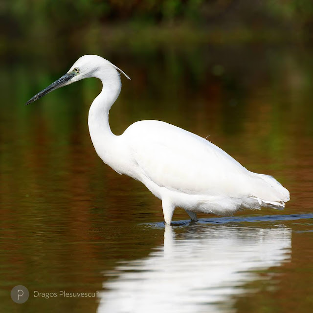 The little egret (Egretta garzetta // ro. Egreta mică)