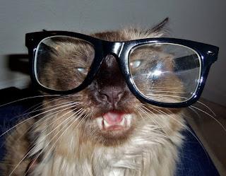 long hair balanese cat wearing nerd glasses cross eyed silly kitty