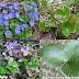 Phong quỳ Gan - Sharplobe hepatica - Liver leaf