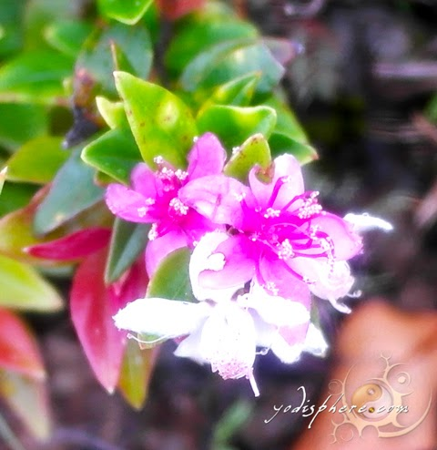 Wild mountain flower along the trail of Mt. Cinco Picos  hover_share