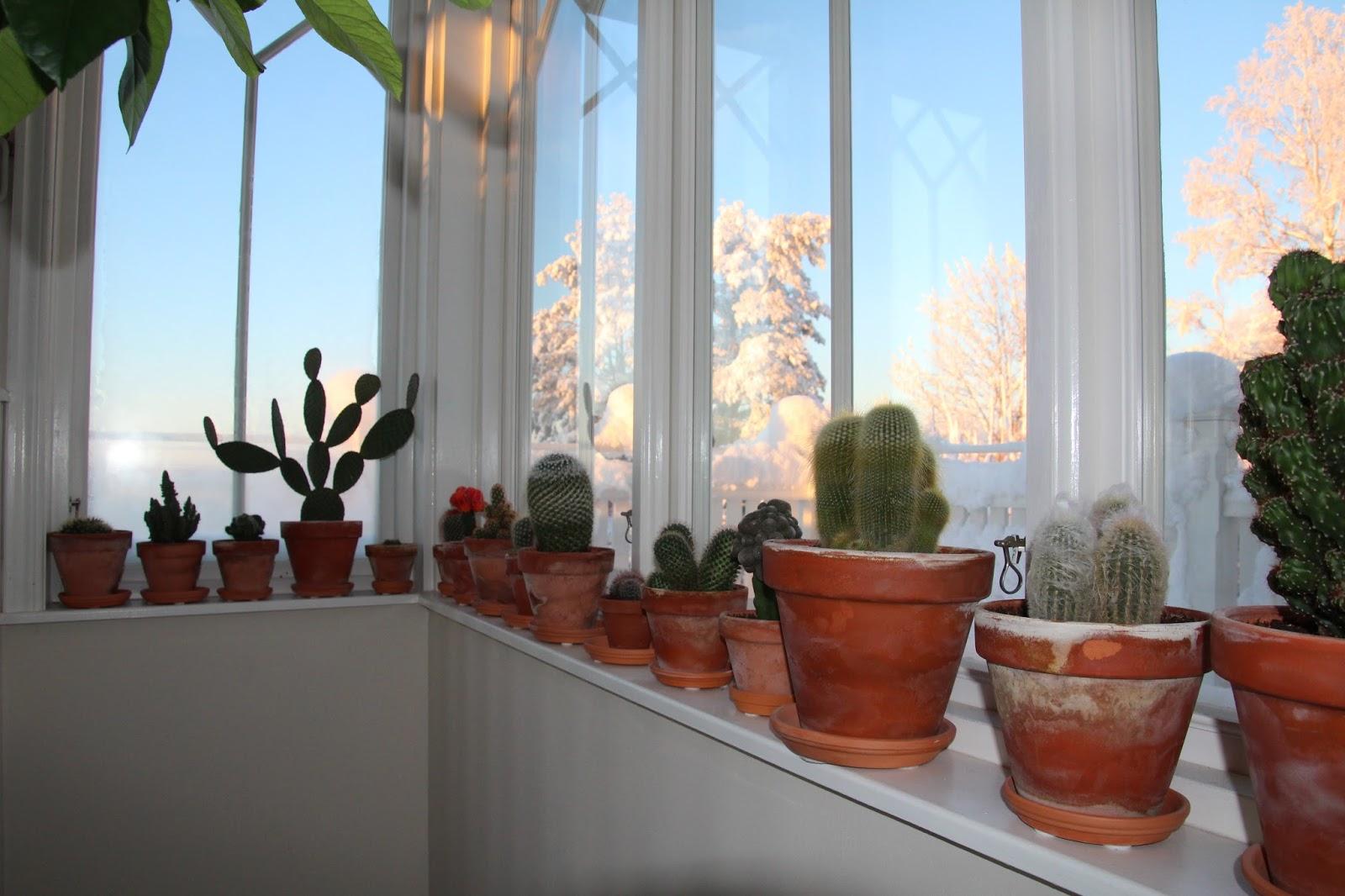 kaktusar på vintervila