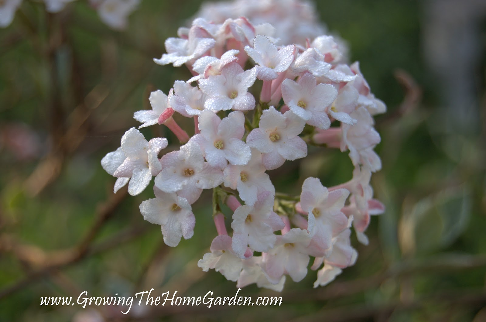 Viburnum X Burkwoodii Mohawk Growing The Home Garden