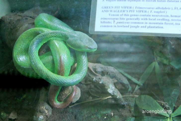 ular gadung museum zoologi bogor