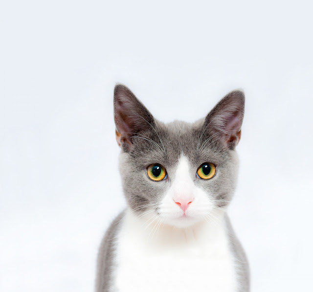 cat image with white background