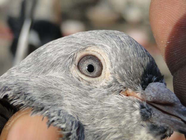 Ferozpuri-Pigeon