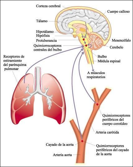 el cuerpo humano centro respiratorio