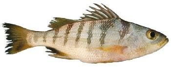 Peixe-Roncador (Conodon nobilis)