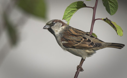 Sparrow Facts