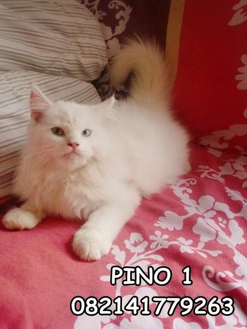 jual kucing putih persia medium daerah surabaya sidoarjo