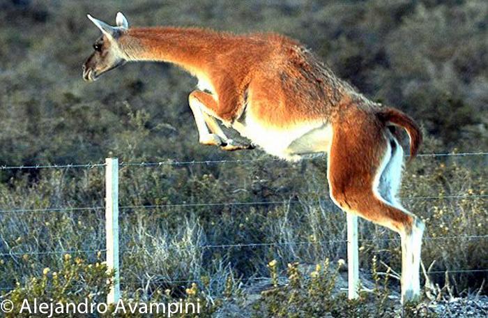 guanaco saltando alambrado en Peninsula Valdes