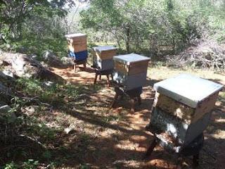 Seca aumenta número de enxames de abelhas perto de casas na PB; veja orientações