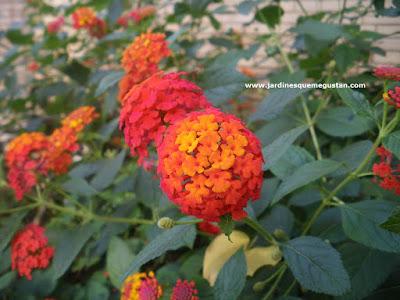 Lantana camara, arbusto de jardín