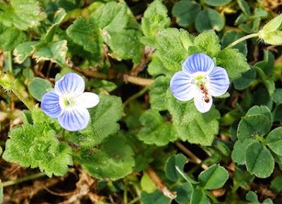 Flores. azules de la Veronica hederifolia