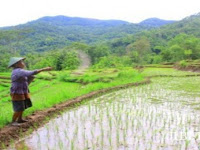 Keong dan Wereng Rusak Tanaman Padi, Petani Slahung Kewalahan