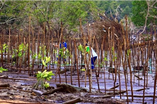 Contoh penanaman mangrove diberikan agar peserta bisa menirunya