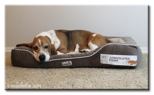 Bentley Basset does not want to be disturbed while snoozing on his new TrustyPup bed