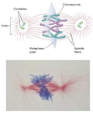 aster, sentriol, kromosom, spindle fiber, metafase plate
