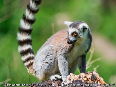 Klasifikasi Ilmiah Lemur catta