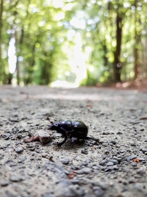 beetle spotting in Nationalpark Eifel