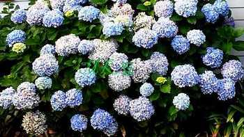 Hydrangeas Blooms Planted in Ground