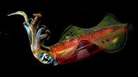 squid animals pictures_Teuthida