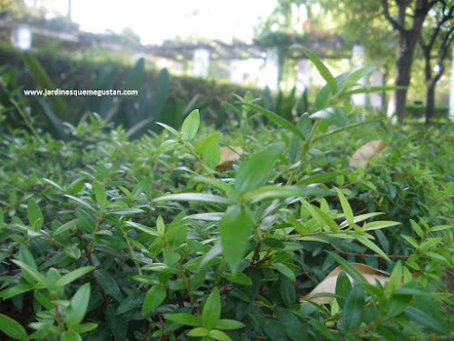 Arrayán (Myrtus communis)
