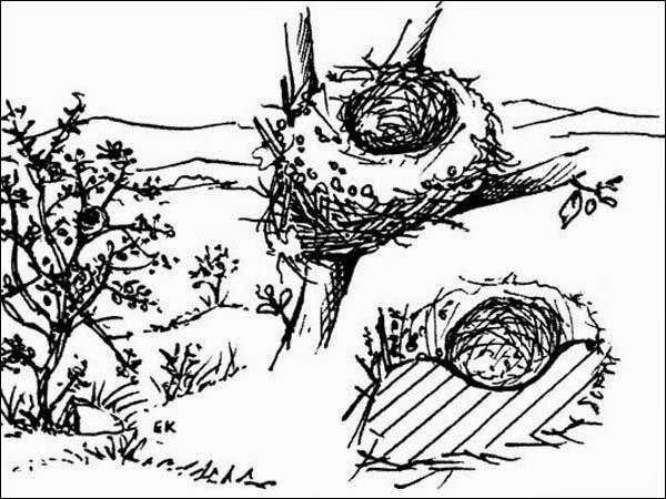 nido de cabecitanegra