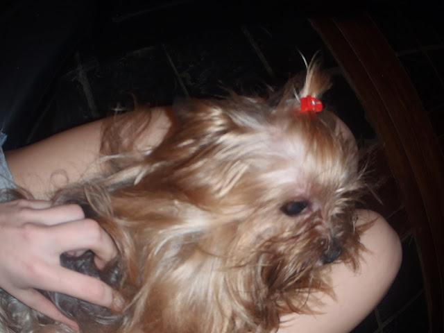 Yorkshire Terrier Argentina
