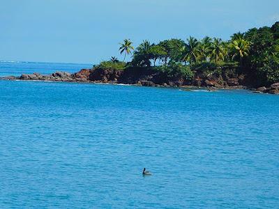 #payabay, #payabayresort, birdlife, fauna, paya bay resort,  pelican, roatan