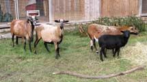 Kamerun Schafe suchen ein Zuhause
