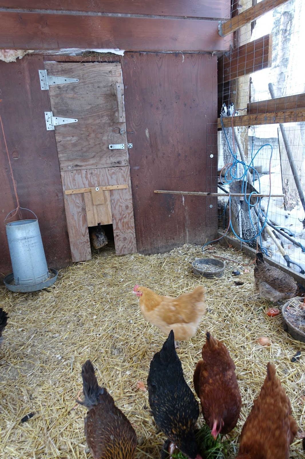 Wild Roots Homestead Does Your Cold Weather Chicken Coop Need A Heat Lamp