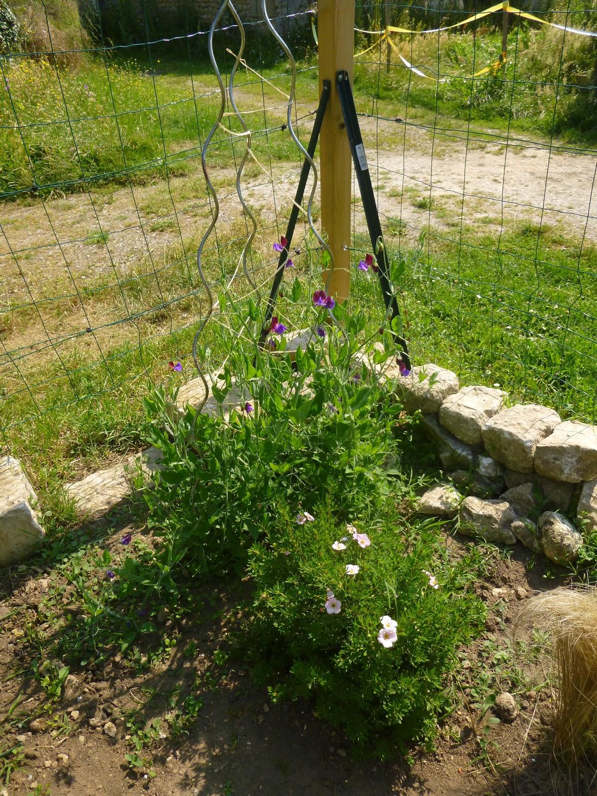 cagouille 39 s garden des roses des fleurs vive l 39 t. Black Bedroom Furniture Sets. Home Design Ideas