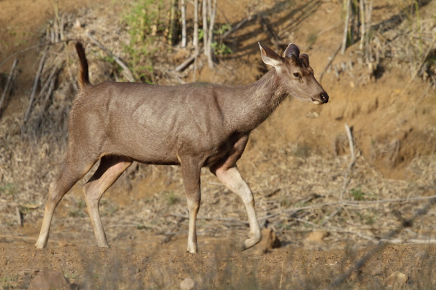 Female Sambar Deer at Tadoba Andhari Tiger Reserve