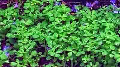 Picture of Methi Plants Growing in a Pot