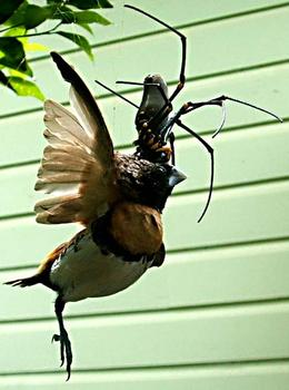 Male Goliath Bird Eating Spider   World s largest known spider     The world s largest known spider is a male goliath bird eating spider   Theraphosa blondi  collected by members of the Pablo San Martin Expedition  at Rio