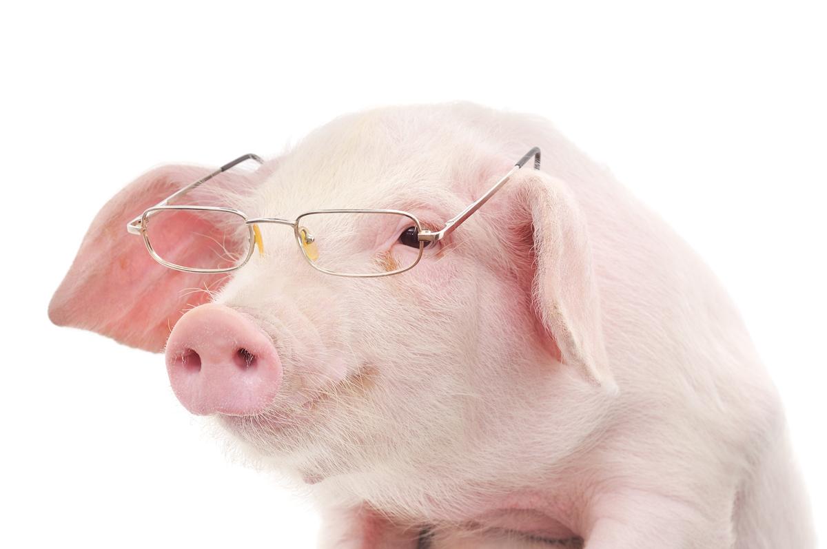 Image d'Animaux: Photo de cochon drôle qui se prend au ...
