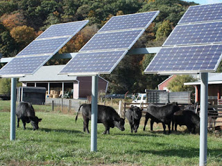 Cattle and solar PV systems