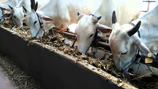 pemberian silase pakan ternak untuk sapi