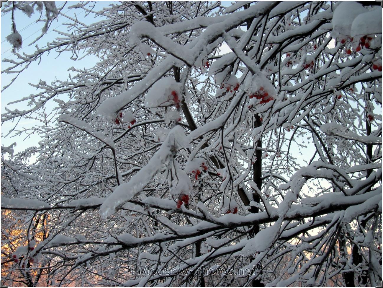 Moscow Ice Rowan Tree In Winter