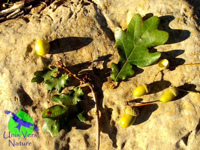 Identification chêne, glands, noix de galle, chêne pédonculé, cuisine plantes sauvages