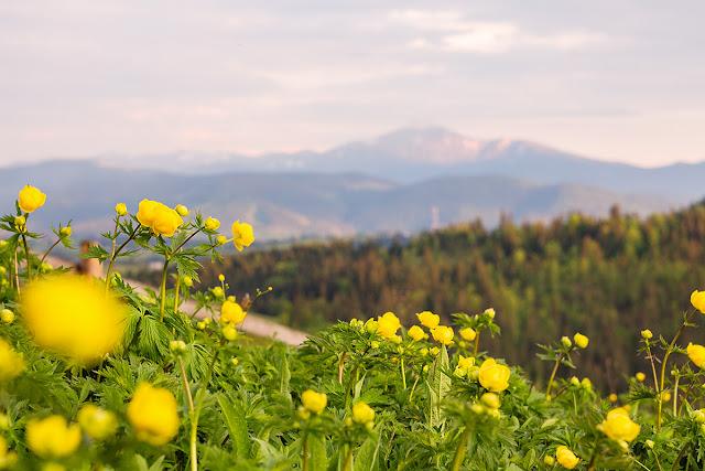 TorriPhoto, купальница европейская, лютик, ранункулюс, Карпаты, горы, цветы, желтые, Буковель, природа, погода, май, закат, дикий, поле, лютиковые,