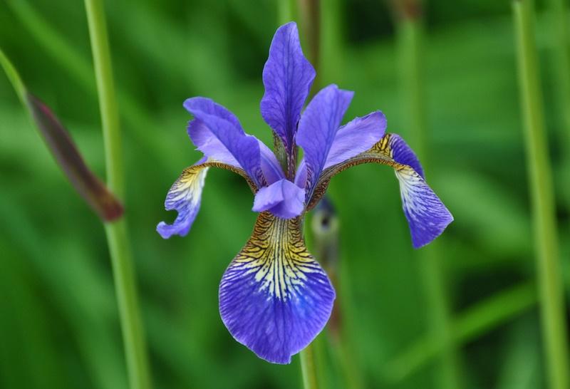 Flor iris azul