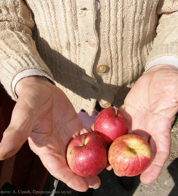 Jabuke u ruci